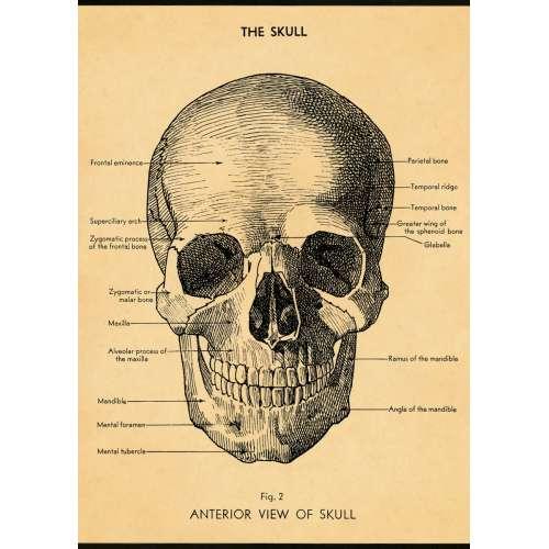Poster Affiche vintage, crâne humain