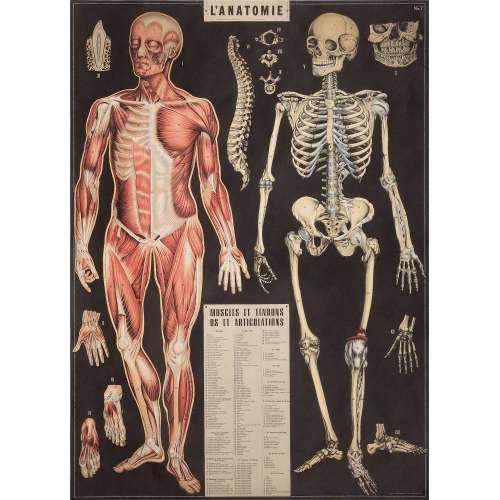 Affiche Poster L'Anatomie - Cavallini